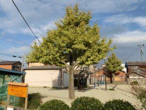 【結構大きな銀杏の木】