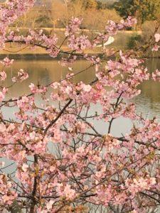 【早咲きの桜カワヅザクラ】