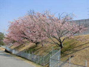 【中電力変電所の桜が満開に】