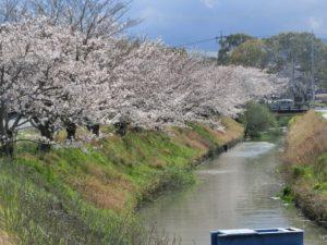 【間もなく満開の金剛川の桜】