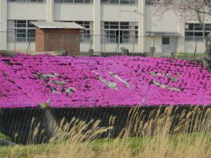 【芝桜が見ごろを迎えている第五小学校】