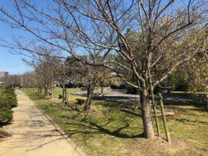 【春になれば桜がきれいな親水公園】