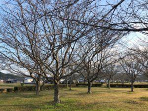 【春が待ち遠しい桜たち】