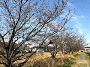 【まだ満開には少しかかりそうな金剛川沿いの桜】