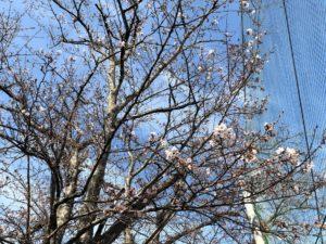 【もうすぐ満開になりそうな三重高校の桜】