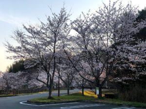 【多気町天啓公園の東側駐車場の桜①】