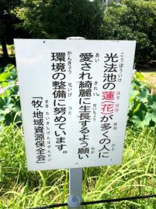 【今が旬の大賀ハスの紹介】